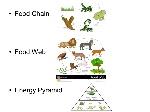 Food+Chain+Food+Web+Energy+Pyramid