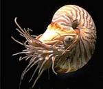 cefalopodi nautilus3
