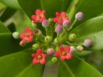 canella_winterana_flowers_1