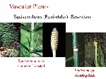 equisetophytes