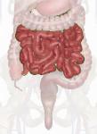 Small-Intestine