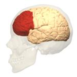 corteza-prefrontal