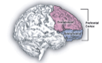 prefrontal_cortex1