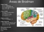 corteza-cerebral-7-638