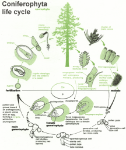 coniferophya_life_cycle1319918031807