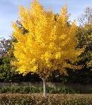 ea2b380a8237afb88b529f948d5dd79a--maidenhair-tree-ginkgo-biloba