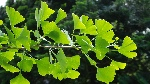 a-branch-of-a-ginkgo-tree-with-bright-green-leaves-in-the-sunlight-16x9