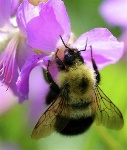 animal pollinated