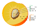 1200px-Drupe_fruit_diagram-en.svg