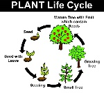 The-Plant-Life-Cycle