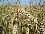 Wheat_close-up