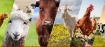Developing-livestock-in-Balochistan