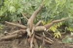 tapioca-root-400x267