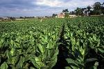 220px-Tobacco_field_cuba1