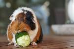 close-up-of-guinea-pig-eating-cucumber-on-floorboard-675608313-57fff1de5f9b5805c2b14e41