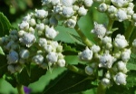 quinine-the-plant-based-medicine-that-saved-millions-of-lives-020
