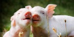 500-freed-pigs