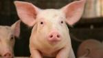 pig-young-closeup.ngsversion.1412640764383