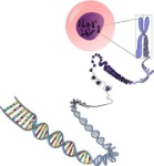 cromosomas1
