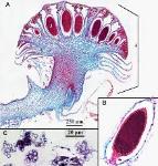 antheridiophore