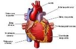 5395a8e35c528-sistema-cardiovascular