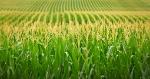 corn-3-14-18-1