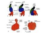 embriologia-del-sistema-cardiovascular-19-638