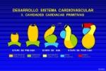 desarrollo-sistema-cardiovascular-23-728