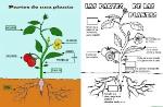 Partes-de-una-planta-para-niños-de-primaria-