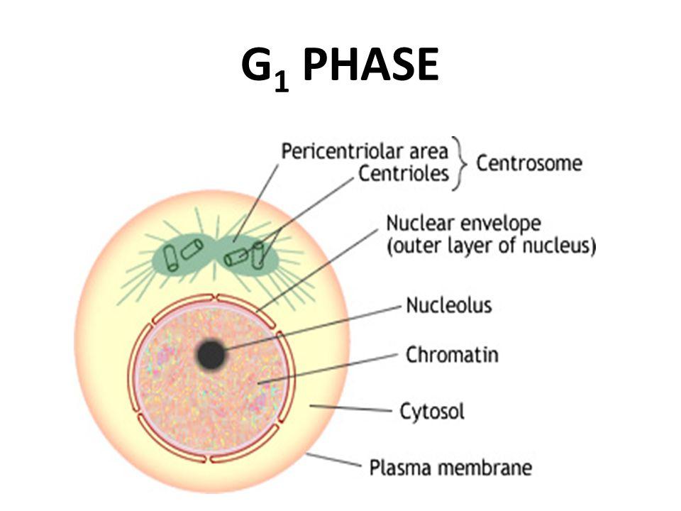 Botany G1 Phase