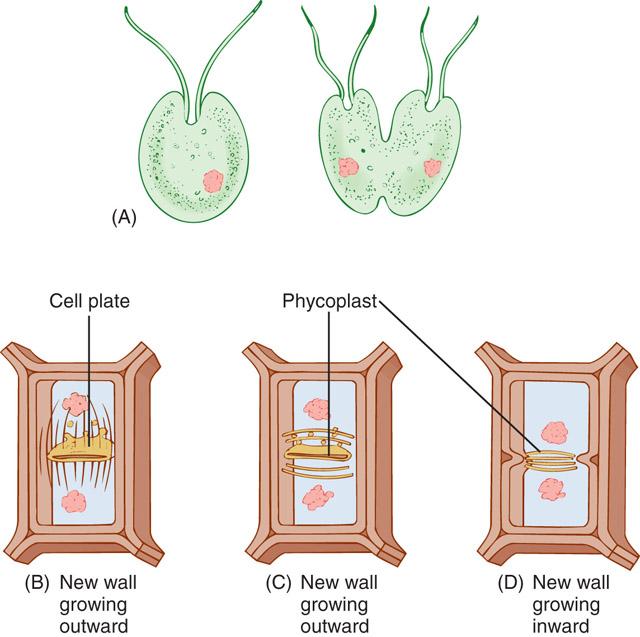 Botany Cytokinesis Pic