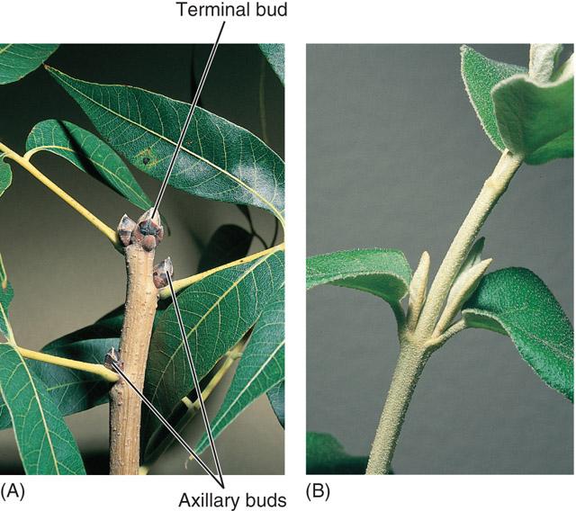 Botany Terminal Bud Pic