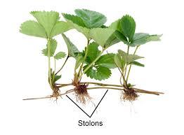 Botany Stolon Pic