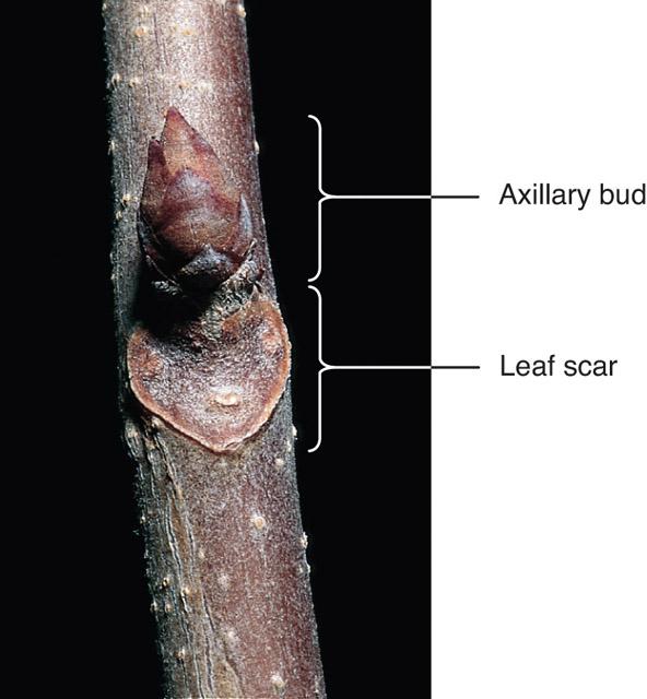 Botany Axillary Bud Pic