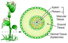 Botany Vascular Tissue Pic