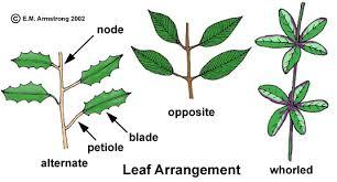Botany Leaf and Node