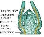 shoot-apical-meristem