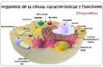 organelos-celulares.funciones-y-caracteristicas-jpg-1
