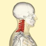 480px-Cervical_vertebrae_lateral2lifederimagen
