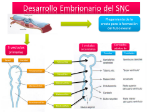 desarrollo-embrionario-del-snc1