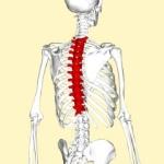 480px-Thoracic_vertebrae_back3lifederimagen-420x420