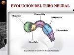 tubo_neural