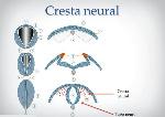 Cresta_Neural-2